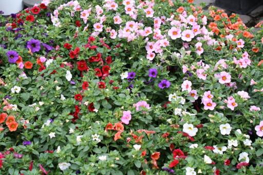 HARDFØR: Petunia finnes i mange farger, og tåler en tørkeperiode. Fin til kasser og krukker. Foto: ALEKSANDRA CYBULSKA