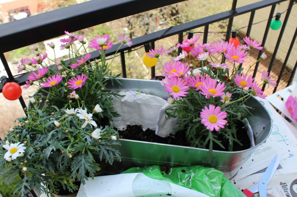 TÅLER TØRKE? Hvilke blomster skal du velge om du vil ha en flott balkong i sommer? Her er tipsene. Foto: ELISABETH DALSEG