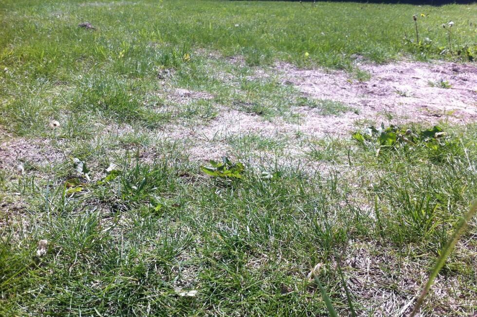 SKABBETE: Det er fullt mulig å få has på ugress og brunflekkete gress. Foto: Karoline Brubæk