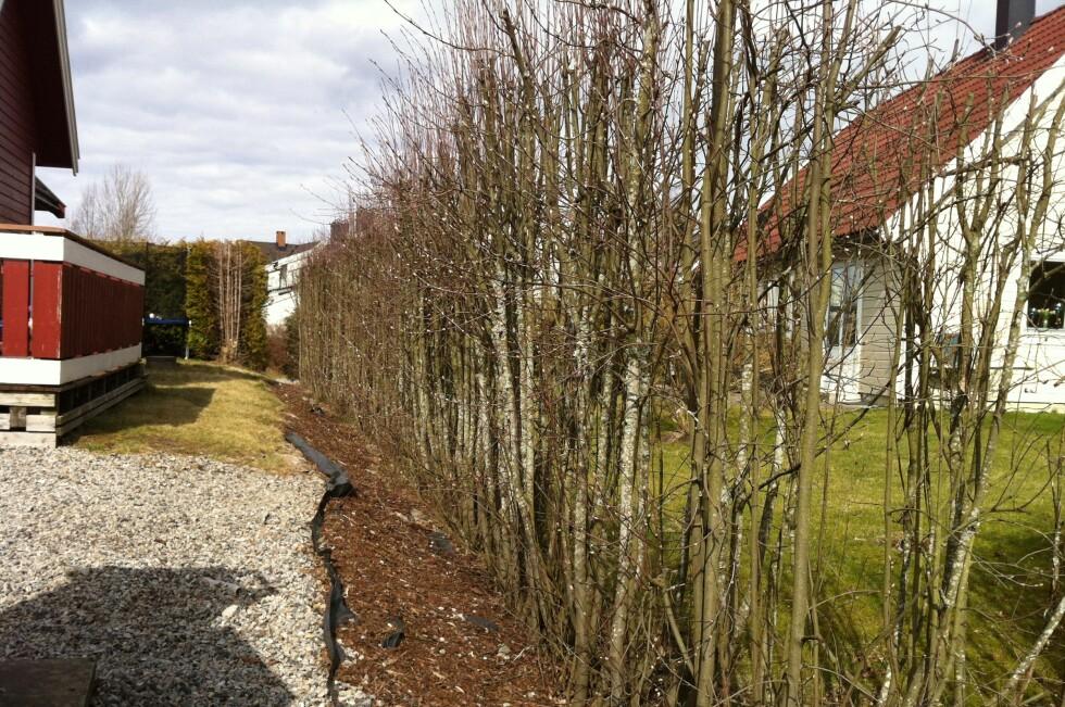 FELLESPROSJEKT: Det vanlige er at man har en felles hekk mellom hagene, og vedlikeholder den delen som vender inn mot eget hage.  Foto: KRISTIN SØRDAL