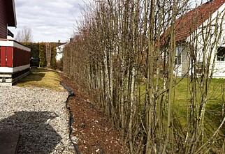 Kan naboen la hekken vokse helt i himmelen?