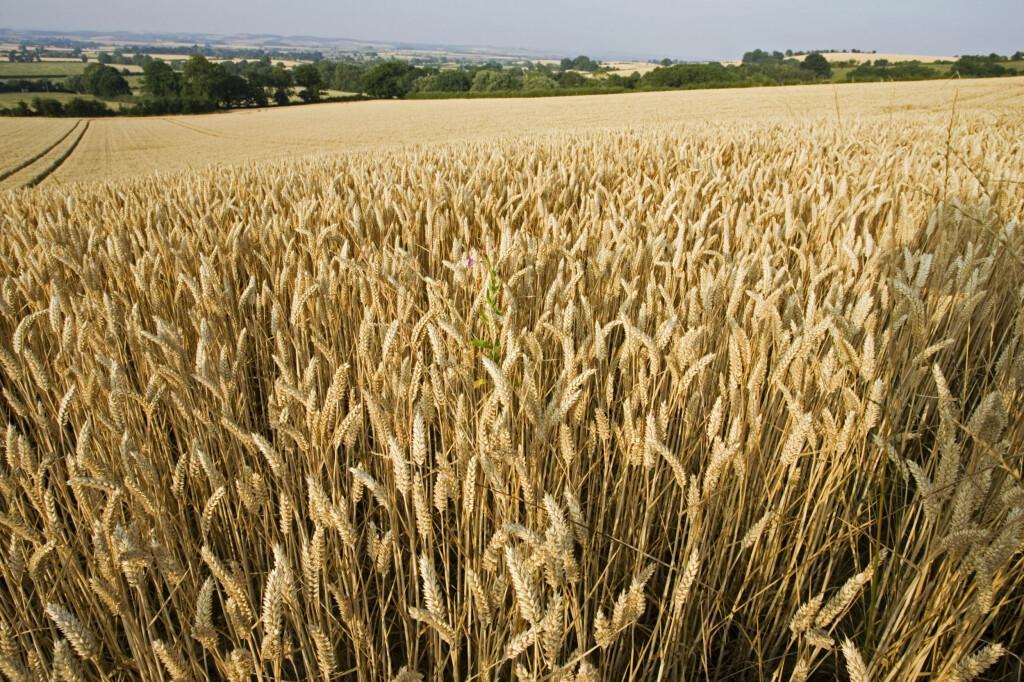 <b>IMPORT:</b> En stor andel av kornet som blir brukt i mel og bakervarer du får kjøpt i Norge, er importert fra andre land. Foto: ALL OVER PRESS