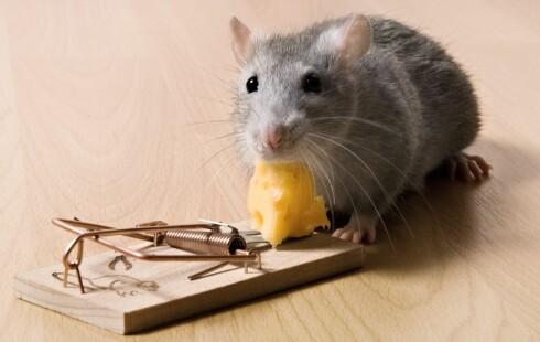Når musene er utspekulerte, må du inn med hardere skyts. Foto: PantherMedia