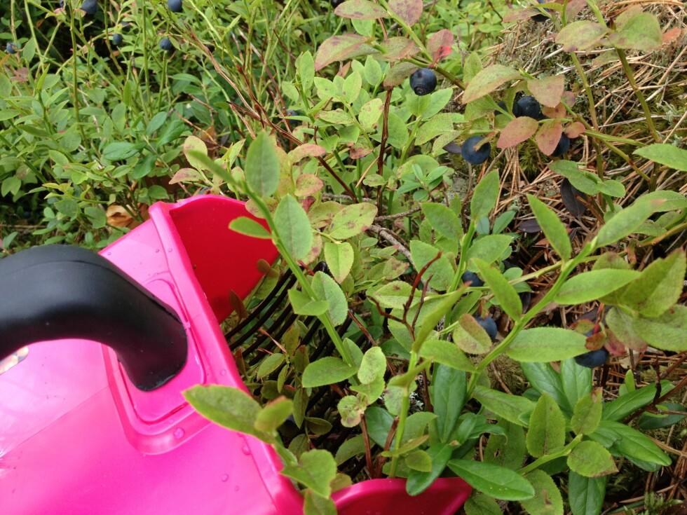 Plukker du mye bær med bærplukker, kan en bærrenser være nyttig. Foto: Berit B. Njarga