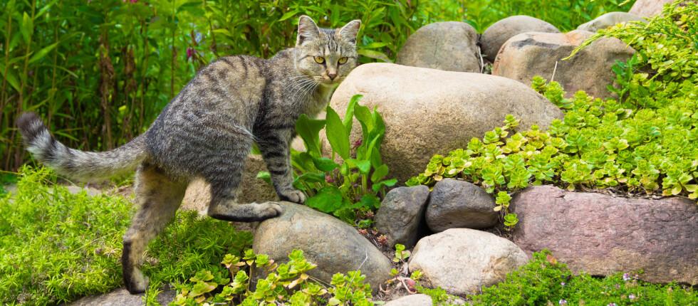 Skyldig? Her er rådene som kanskje kan beskytte bedene dine mot katteavføring. Foto: Colourbox.com