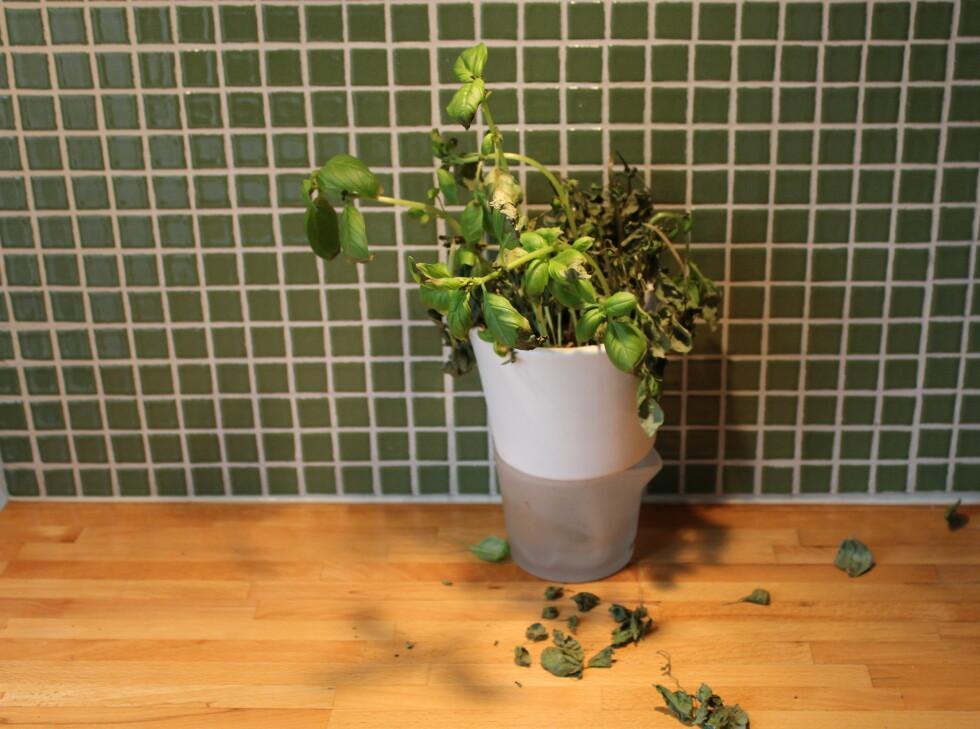Det var nesten ingen ting igjen av basilikumplanten som sto i selvvanningspotten fra Eva Solo. Dette til tross for at det fortsatt var vann igjen i bunnen av potten, som var i kontakt med trådene som planten skal bruke for å suge til seg vann.  Foto: Elisabeth Dalseg
