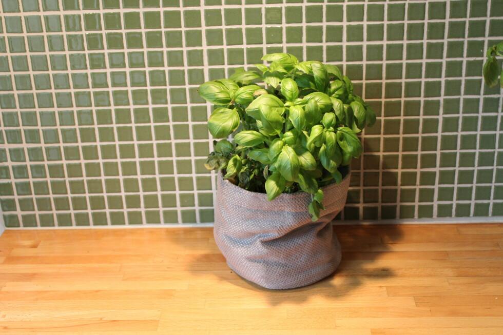 Basilikumplanten som sto i Mester Grønns selvvaningspotte Grow-in trivdes best. Foto: Elisabeth Dalseg
