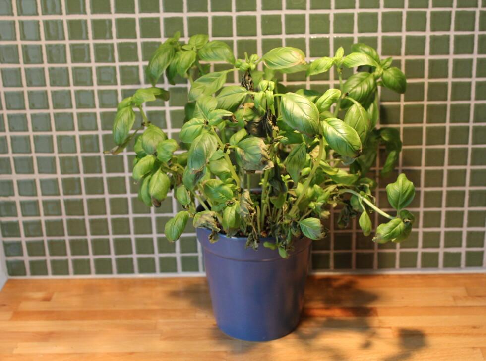 Basilikumplanten som ble plantet i en potte foret med bleier klarte seg greit, men langt fra så godt som potten som sto i Grow-in. Foto: Elisabeth Dalseg