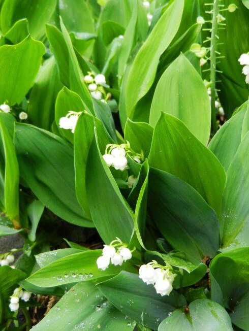 Liljekonvall (over), blåveis og blåstjerne (under): Hvis barnet ditt får i seg for mye av disse blomstene bør du ta kontakt med Giftinformasjonen.  Foto: Colourbox.com
