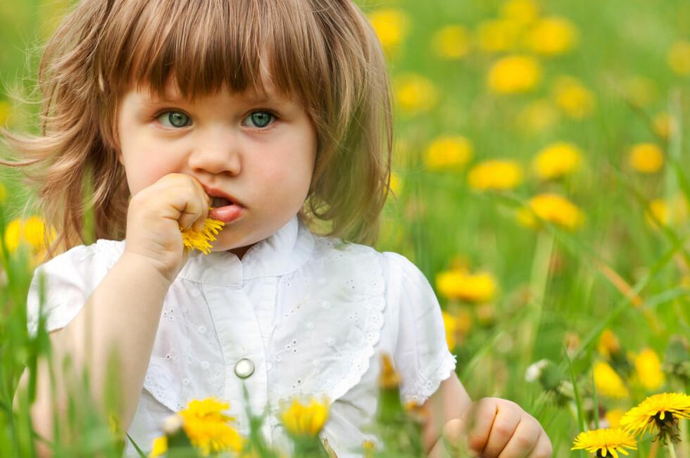 De fleste planter, som løvetann, er lite giftige og vil derfor ikke gi noen symptomer ved en liten smak. Gi gjerne litt å drikke dersom barnet ditt har smakt på løvetann, råder Giftinformasjonen. Foto: Colourbox.com