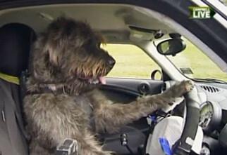 Hunden lærer å kjøre