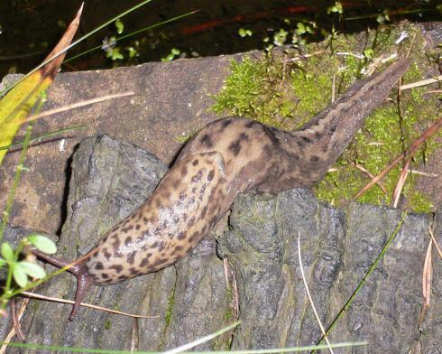 Boa/Tiger/Leopard-sneglen har fått navn fra flekkene. wikimedia commons Foto: Andre Heiter/