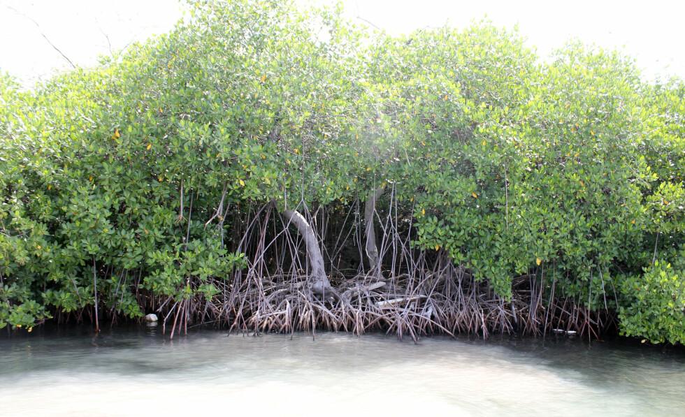 Vakker mangroveskog.  Foto: Silje Ulveseth
