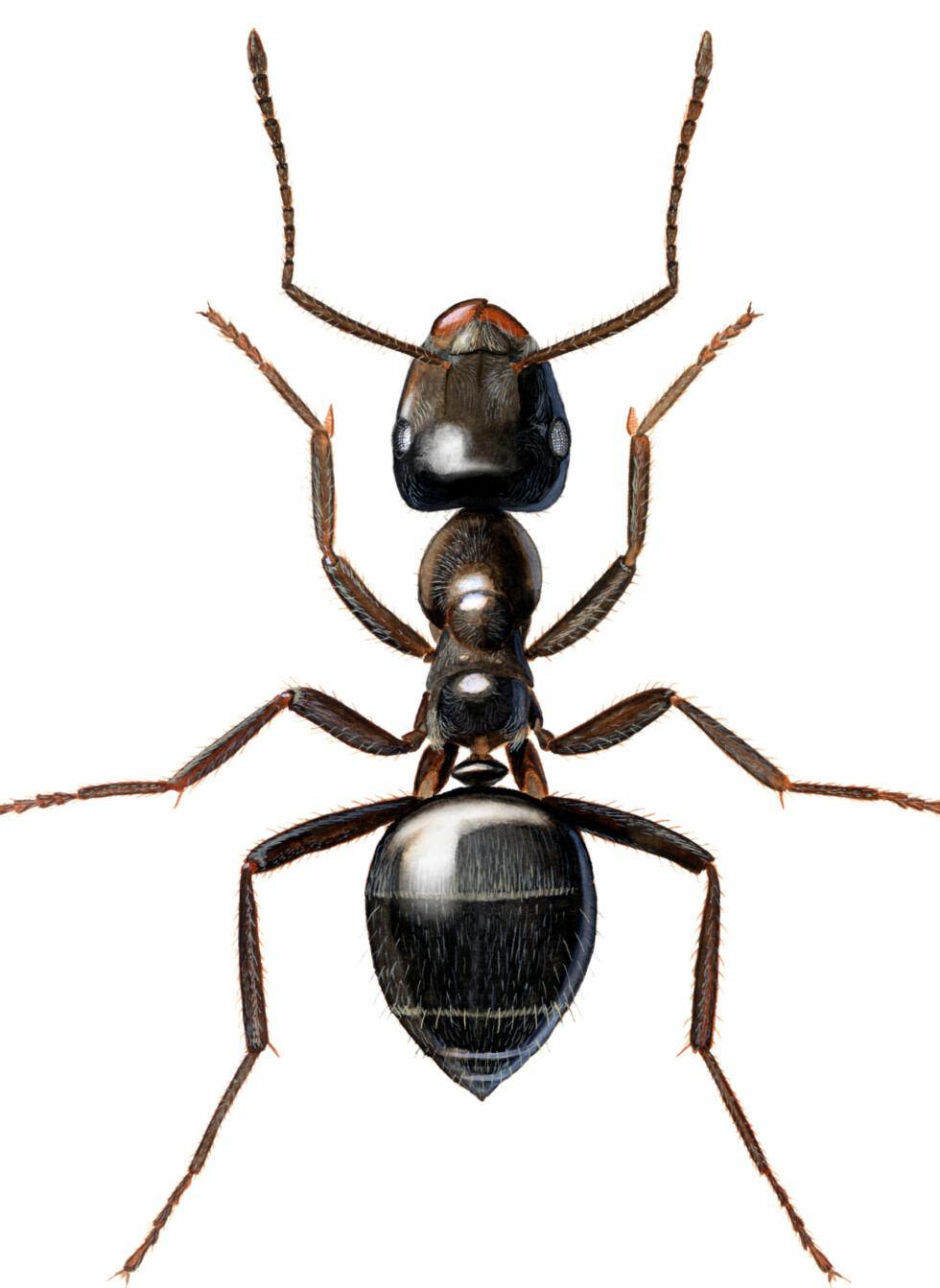 Svart jordmaur, eller sukkermaur er bare mellom tre og fem millimeter lange. De kommer gjerne inn i jakt på mat. Foto: Hallvard Elven/Folkehelseinstituttet