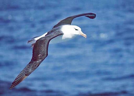 DREAMLINER-VINGER: Albatrosser er store stormfugler som har fugleverdenens største vingespenn. Den kan bli opptil 3,5 meter. Vingene er, som du ser, usedvanlig lange og smale. Foto: Uwe Kils/Wikimedia