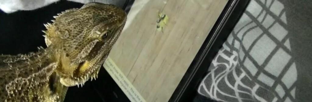 Ivrig og sulten øgle fanger virtuelle maur. Foto: YouTube