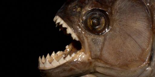 image: Sultne pirajaer angriper i Brasil