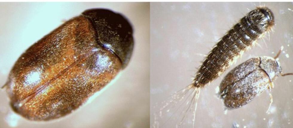 Den brune pelsbillen er 2-4 millimeter lang og trives best på varme, tørre steder.  Foto: Laves