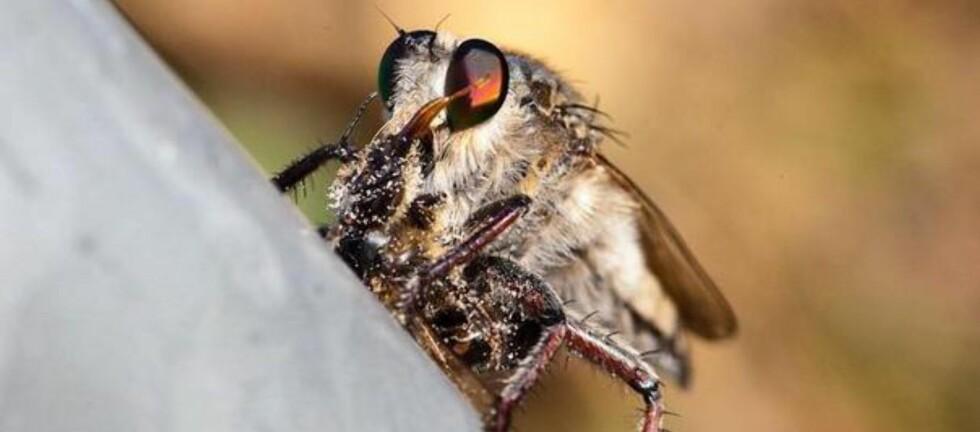 """JA, DET ER EN FLUE: """"Promachus latitarsatus de Gran Canaria"""" heter denne rovfluen fra Kanariøyene. Den blir også kalt for Singue-flua, fordi hanfluene brummer når de sjekker opp hunnen.  Foto: Hugo Ryvik/canariajournalen.no"""