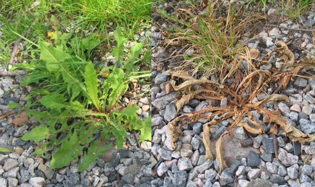 Løvetann før og etter behandling med eddikvann. Bildet til høyre viser ståa to og et halvt døgn etter behandlingen. Foto: KRISTIN SØRDAL