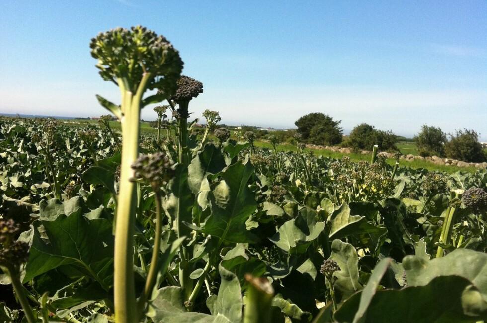 Brokkolini blir omtalt som den nye supergrønnsaken. Men er den virkelig så super? Foto: Britt Kåsin/Opplysningskontoret for frukt og grønt