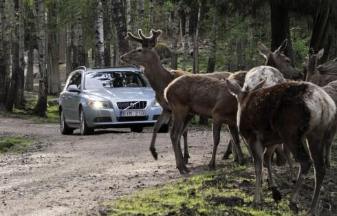 Volvo jobber også med et system som skal hindre viltpåkjørsler Foto: VOLVO