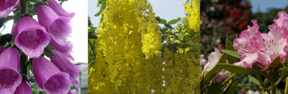 GIFTIGE: Tre vakre planter, men alle er giftige. Fra venstre - revebjelle, gullregn og rhododendron. Foto: Colourbox.com