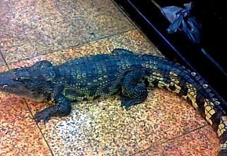 Her må krokodillen dø