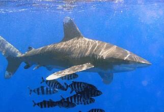 Derfor angrep haiene i Sharm el Sheikh