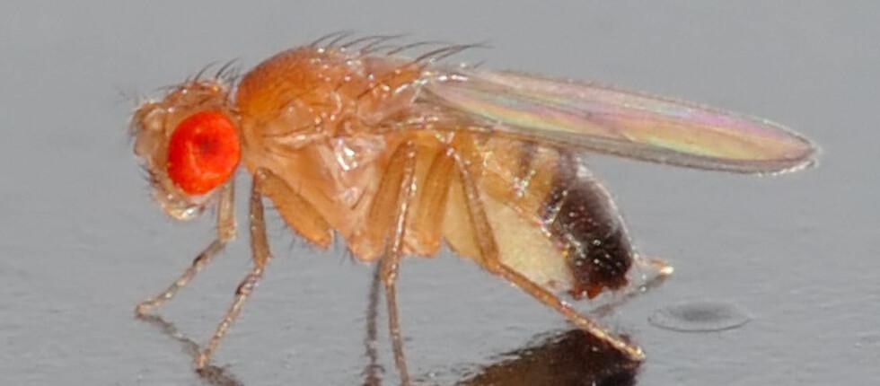 <strong><strong>FRUKTFLUE:</strong></strong> Drosophila melanogaster er ingen fremmed. De trives spesielt godt på kjøkkenet ditt, gjerne mellom frukt og halvtomme panteflasker. Foto: Wikipedia