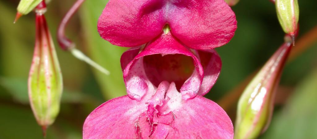 """<strong>Kjempespringfrø</strong> er en svært dekorativ art som egentlig kommer fra Himalaya. Flere steder er den svært invaderende og derfor en uønsket art i Norge. Kjempespringfrø har store, nektarrike blomster. <i>Foto: <a target=""""_blank"""" href=""""http://commons.wikimedia.org/wiki/User:Aka"""">Aka</a>, <a target=""""_blank"""" href=""""http://creativecommons.org/licenses/by-sa/2.5/deed.en"""">Wikipdedia Commons</a>.</i>"""