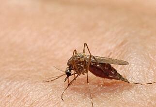 Derfor klør myggstikk så inni #$%*!