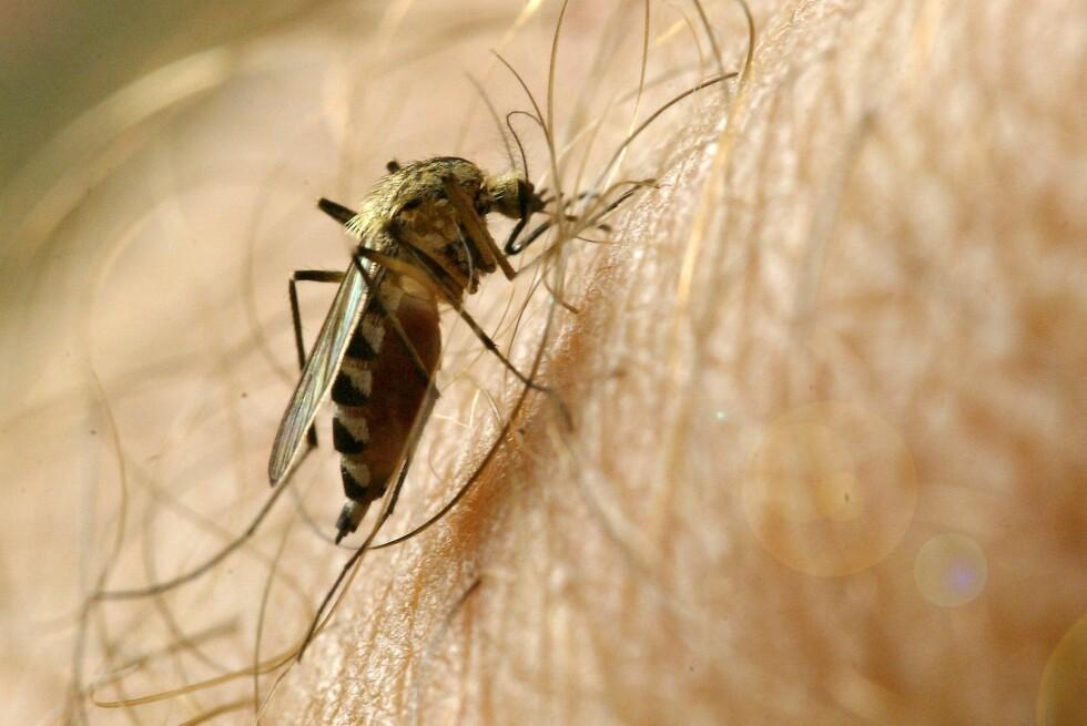 FOR EN RAKKER: Her ser du en mygg i arbeid. Selv om den er plagsom, bør du likevel være forsiktig med å bruke myggmiddel. Foto: colourbox.com
