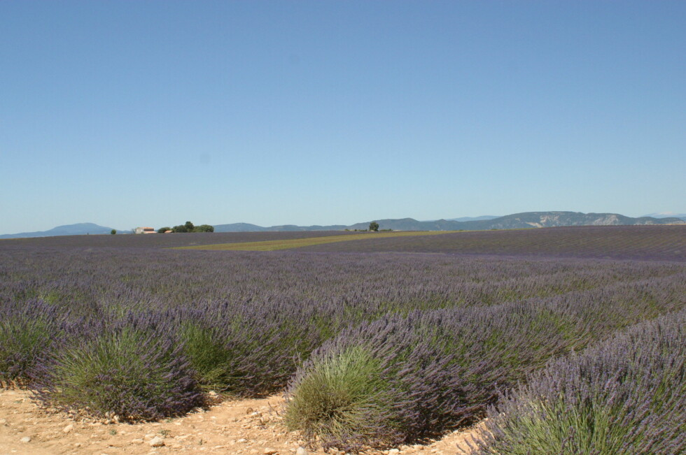 Plateau de valensole - lavendelåker. Foto:  M.Raynaud/ Terre Méditerranée