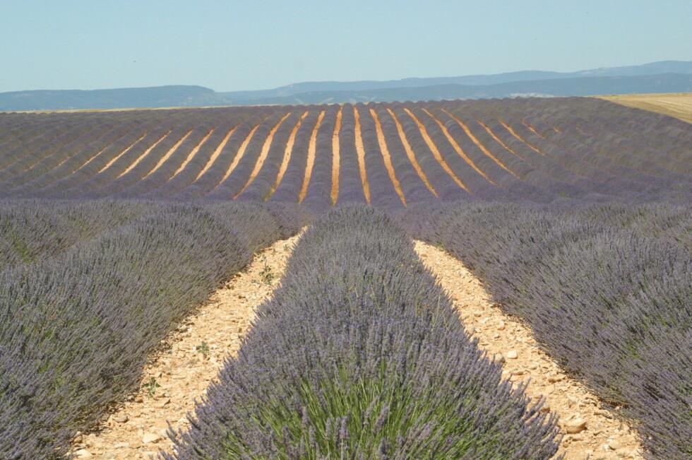 Plateau de valensole - lavendelåkre. Foto: M.Raynaud /Terre Méditerranée