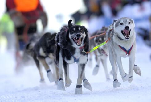 Hundesledekjøring - en eksotisk vinteraktivitet. Foto: Casper Tybjerg/Innovasjon Norg