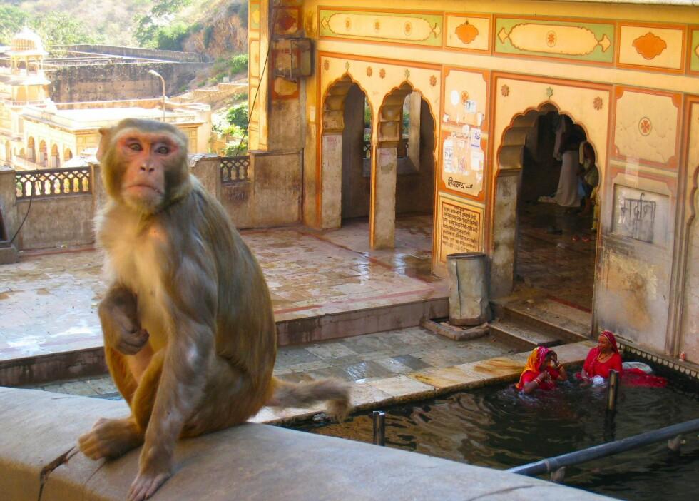 Fra apetempelet like utenfor Jaipur. Her har apene overtatt regien. Gjestene kommer med bananer til dem, og blir omtrent overfalt straks de er innenfor porten. Damene i bakgrunnen bader i et vann jeg ville holdt meg langt unna... Foto: Stine Okkelmo