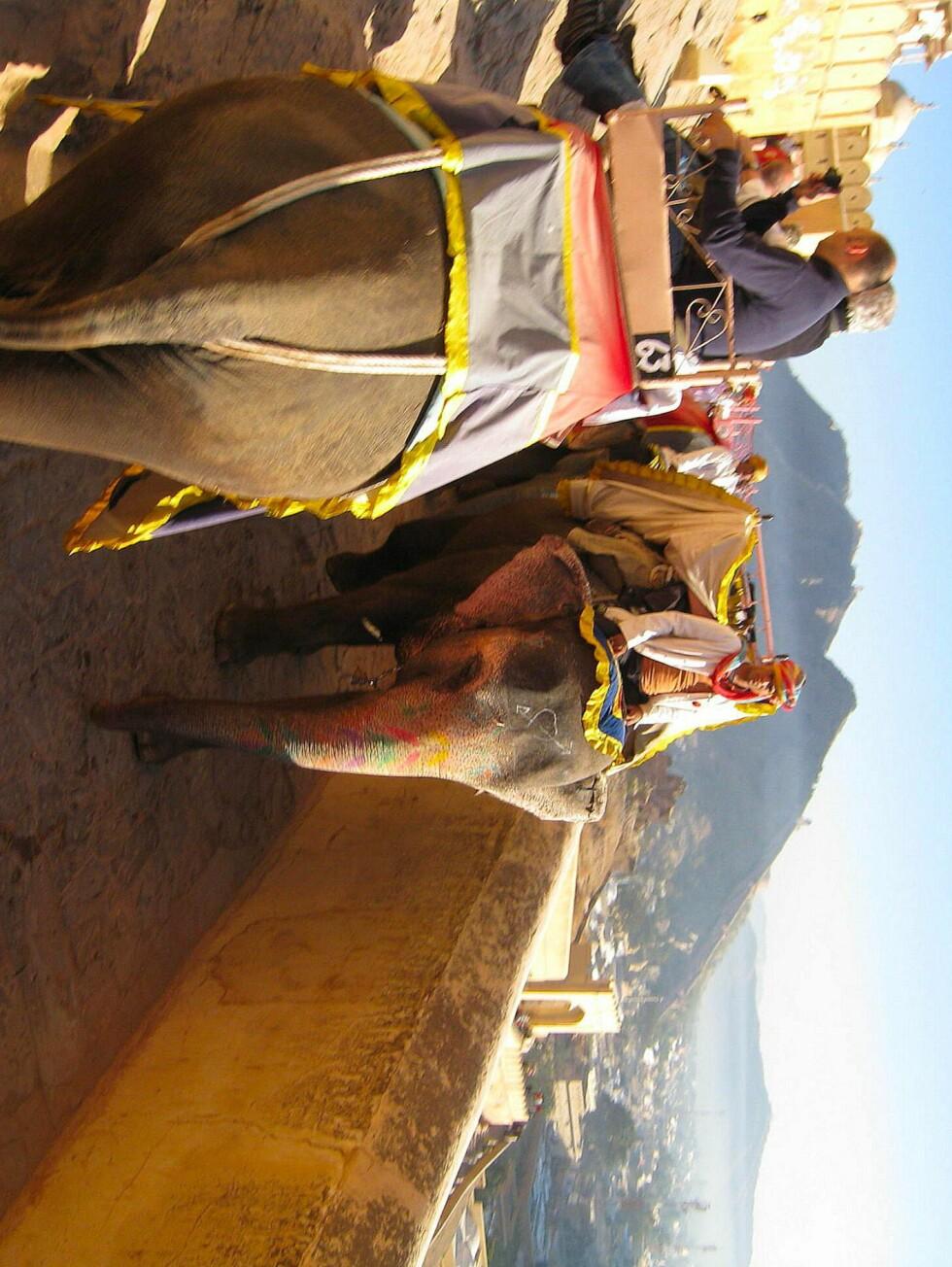 Nesten alle turister rir på elefanter opp dne bratte veien til Amer Fort. Veldig turistifisert, men moro, likevel. Foto: Stine Okkelmo