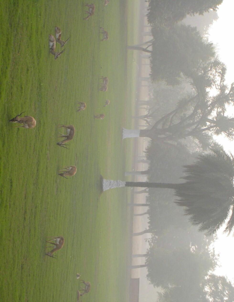 I parken rundt Akbar den stores mausoleum holder flokker av antiloper til, sammen med aper og ekorn. Foto: Stine Okkelmo