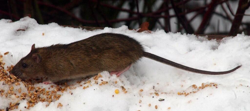 Er det problemer med rotter der du bor, bør du kanskje tenke over hva du gir til småfuglene. Korn står øverst på rottenes drømmemeny ... Foto: Colourbox.com