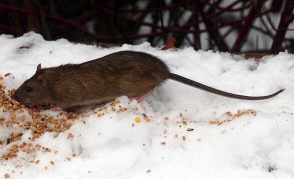 - Har sett rotter komme opp av toalettet