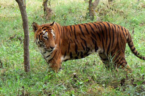 Indiske tigre er svært sjeldne. Nå blir tigerturisme brukt som et middel for å redde dem fra utrydding. Foto: Peranandham Ramaraj