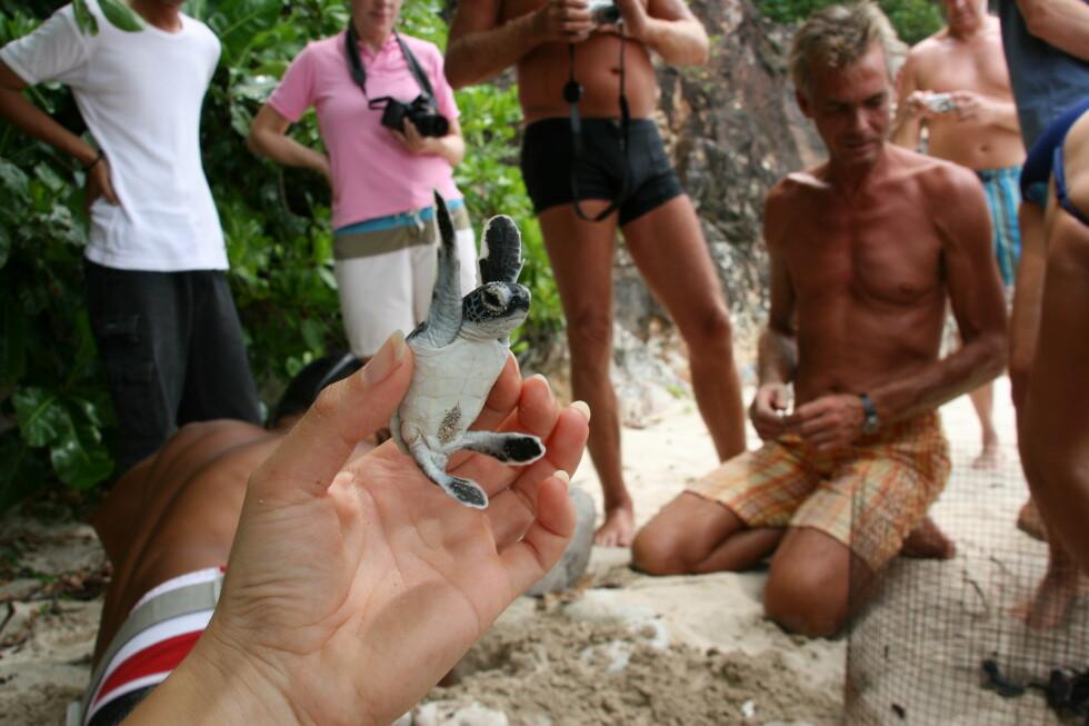 Denne lille skilpaddeungen er akkurat klekket ut. I bakgrunnen ser du Peter Engelbracht som henter dem opp fra hullet i sanden, der eggene har ligget.  Foto: Stine Okkelmo