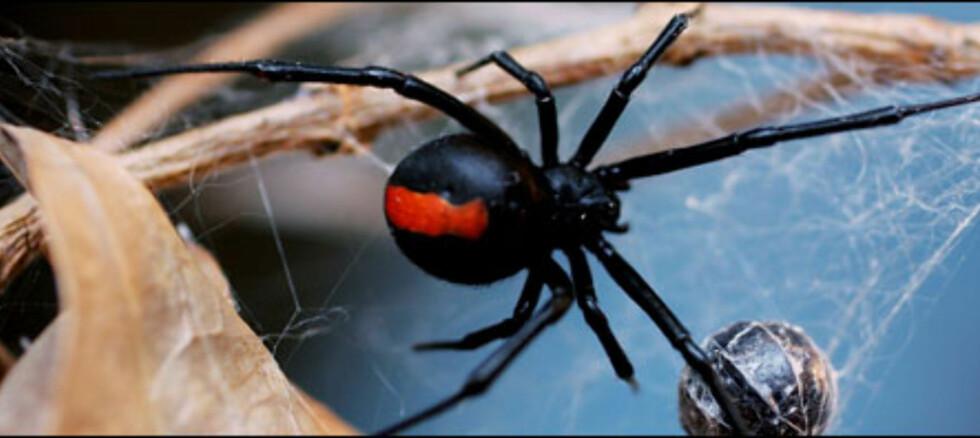 Redd for edderkopper? Konfronter frykten din og gi deg selv lov til å bli redd. Trekk deg tilbake når du vil, er rådet til ekspertene. Foto: Ian Waldie/Getty Images og All Over Press