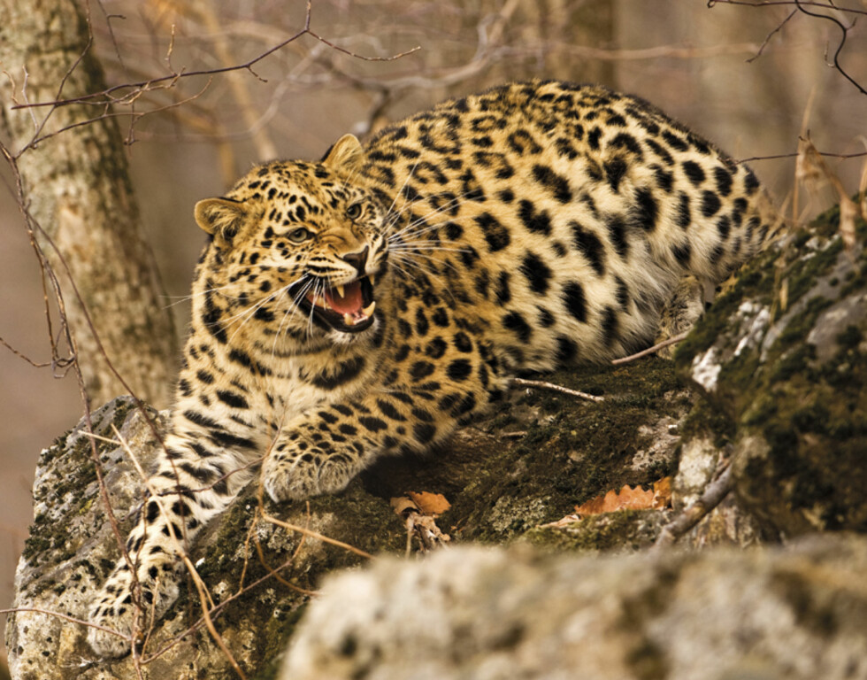 """Lure of the leopard"" - Gerald Durrell Award for Endangered Wildlife - Highly Commended Foto: Andrew Harrington"