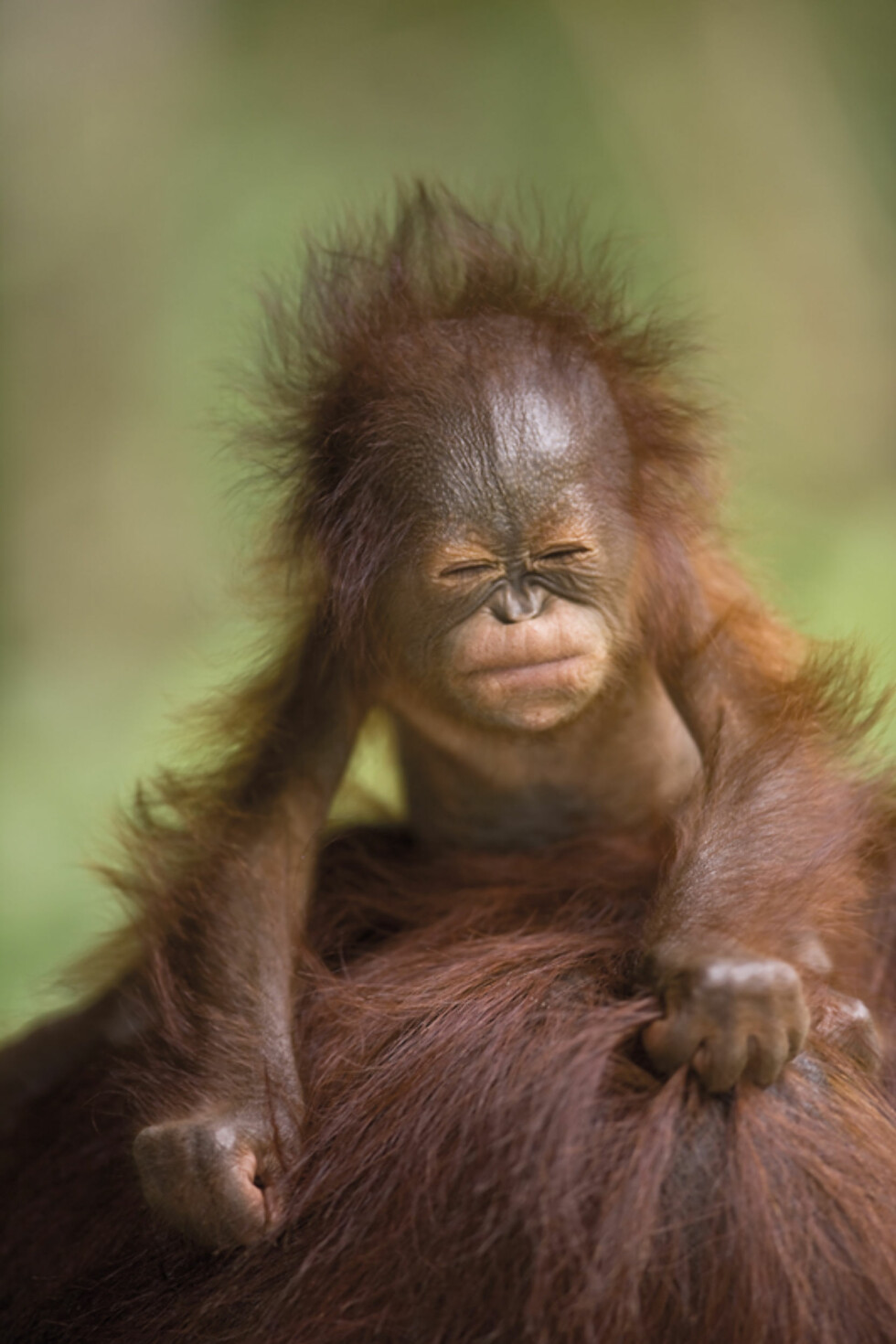 """Borneo baby"" - Animal Portraits - Highly Commended Foto: Brian Mattews"