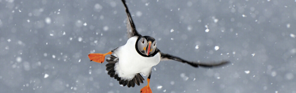 """Puffin in the snow"" - Animal Portraits - Highly Commended Foto: Jan Vermeer"