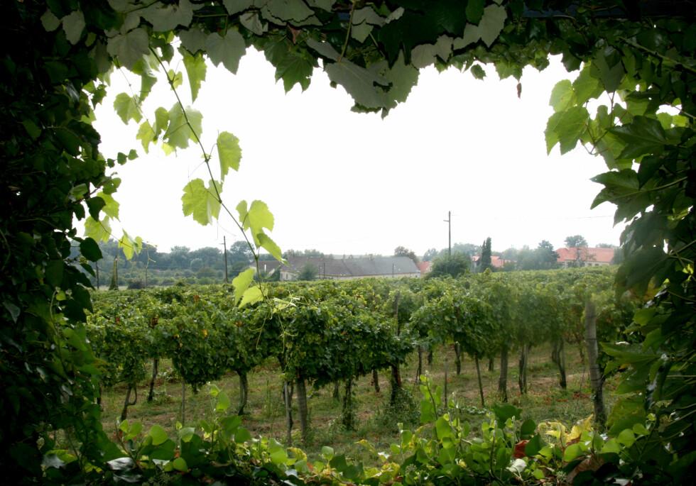 Utsikt fra Szeremley, en av mange vingårder i Balaton-området.