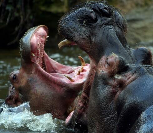 Flodhesten er det dyret i Afrika som dreper flest mennesker hvert år. Foto: Colourbox