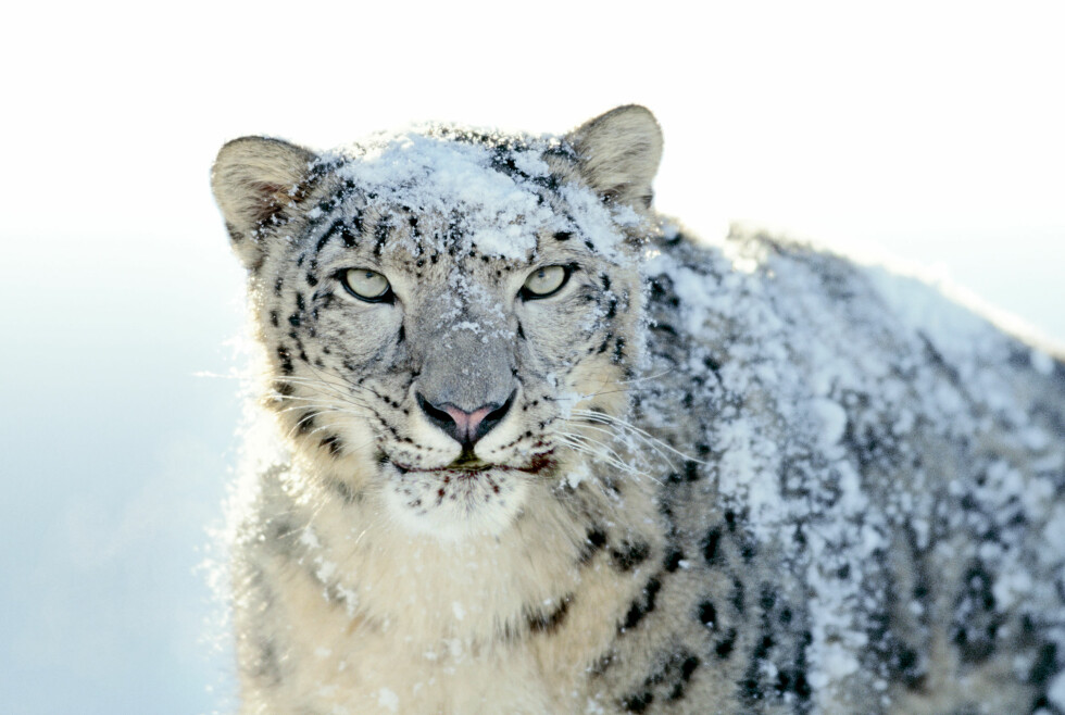 Snow Leopard klar for salg